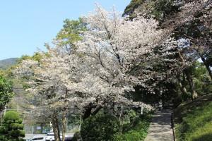 2014 桜 歩道